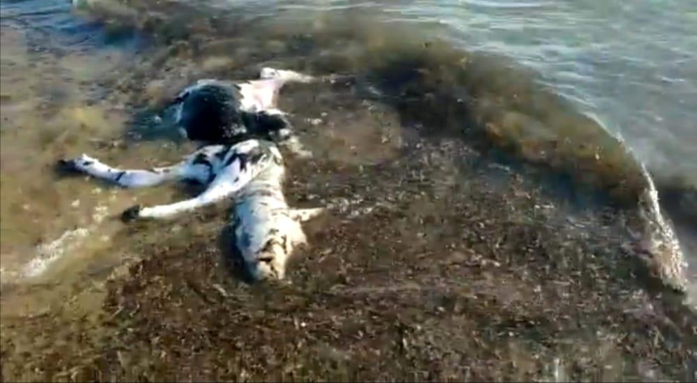 Choc a Capaccio Paestum, trovata carcassa di bufalino in mare