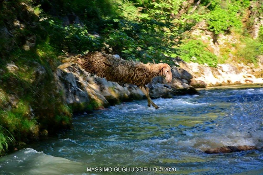 """Pecore, cani e pastori nel fiume Sele: la """"vagnatura"""" rinfresca tutti, le foto"""