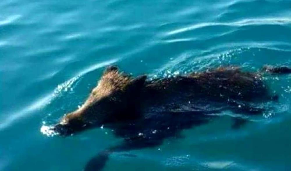 Cinghiale ferito fugge in mare a Salerno: salvato dalla Guardia Costiera