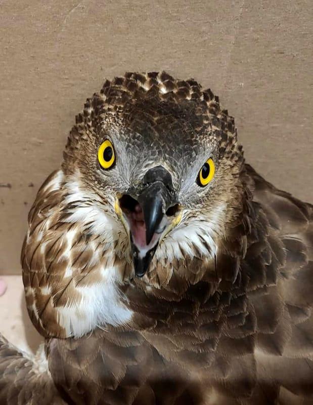 Soccorso un altro falco ferito nel salernitano: trasportato al Cras