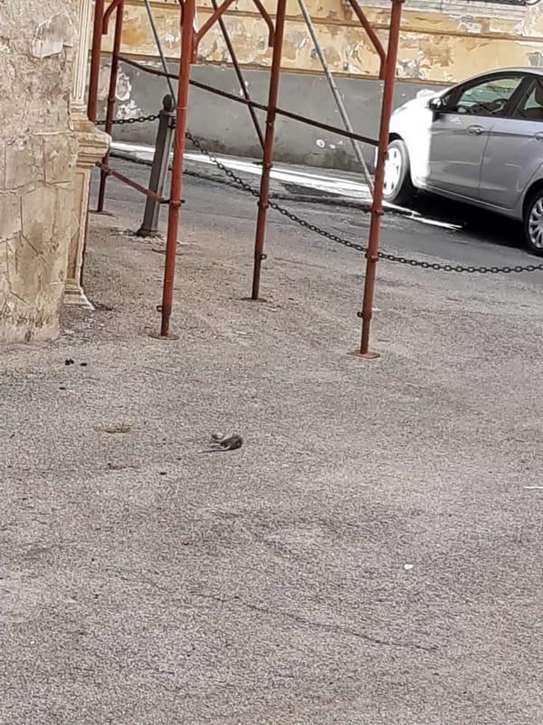 Topo morto di fronte al Museo Diocesano: la denuncia dei residenti
