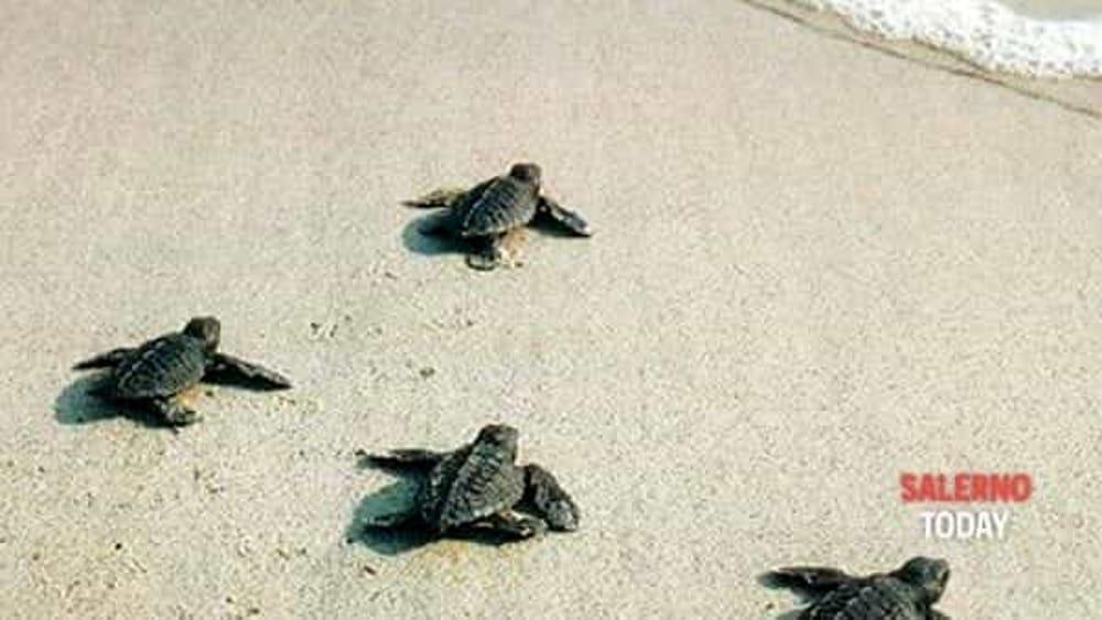 Sorpresa in un lido del Cilento: tartaruga seppellisce uova tra le sdraio