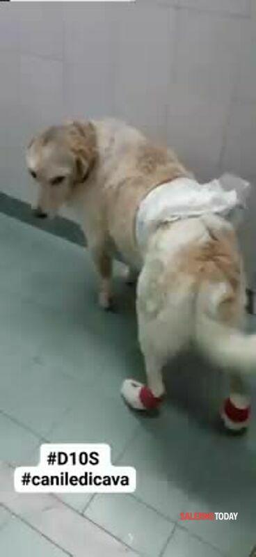 VIDEO | Colpito da un'arma da fuoco e torturato: D1OS torna a camminare, l'appello di aiuto per curarlo