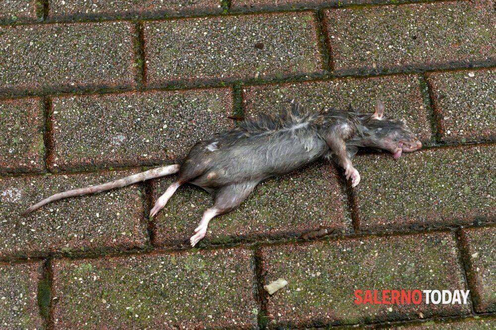 Degrado a Torrione: topi morti in strada, la denuncia