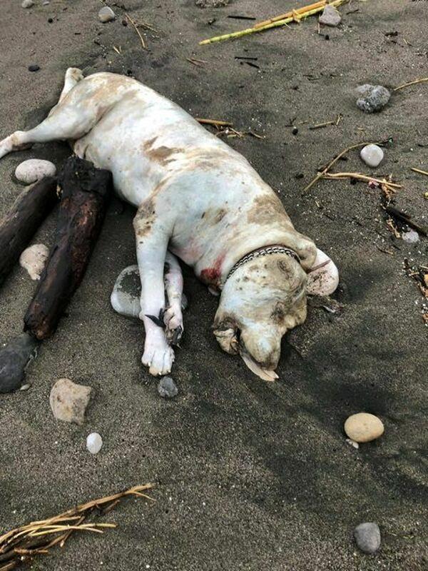 Orrore in spiaggia: il mare restituisce un dogo argentino morto