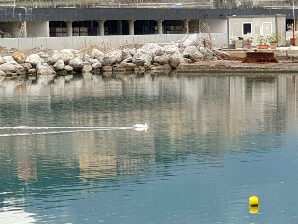 Curiosità al Molo Manfredi: spunta l'oca dal becco rosso