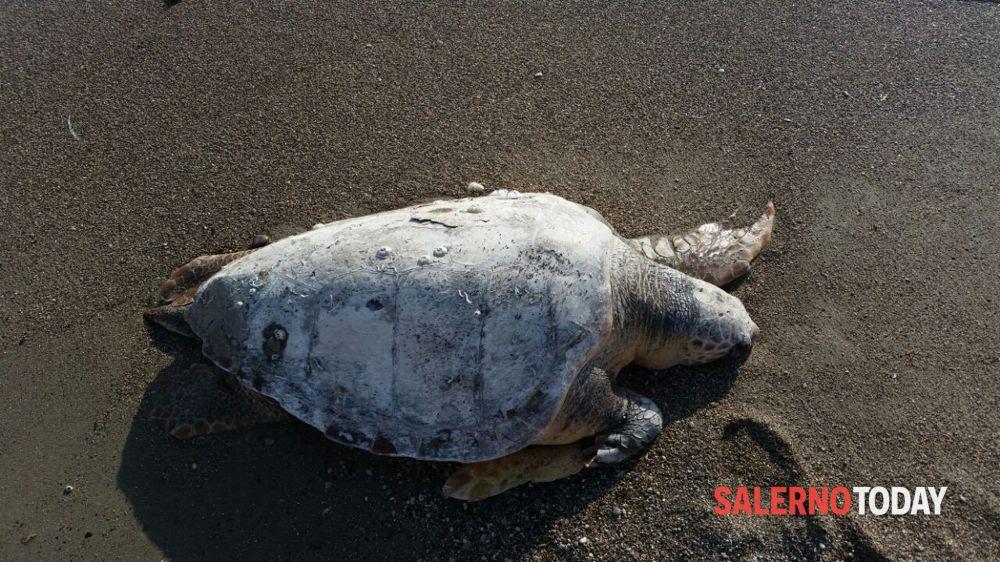Agropoli, tartarurga trovata morta nella Baia di Trentova