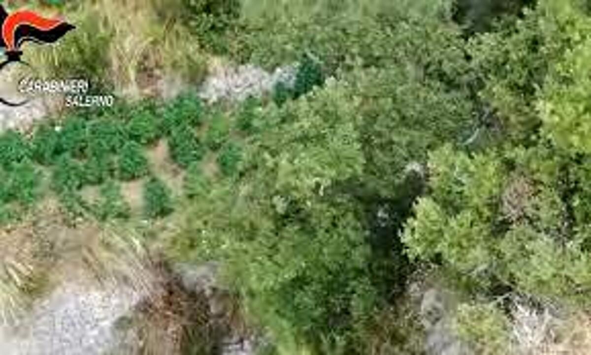 Droga in Costiera: i carabinieri scoprono una piantagione di marijuana