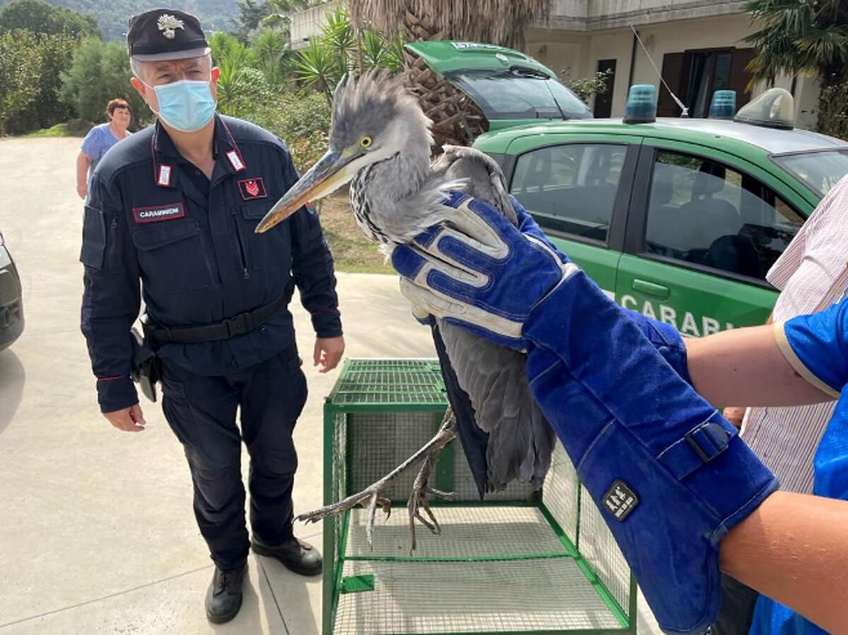 San Cipriano Picentino, i carabinieri forestali salvano un airone cenerino