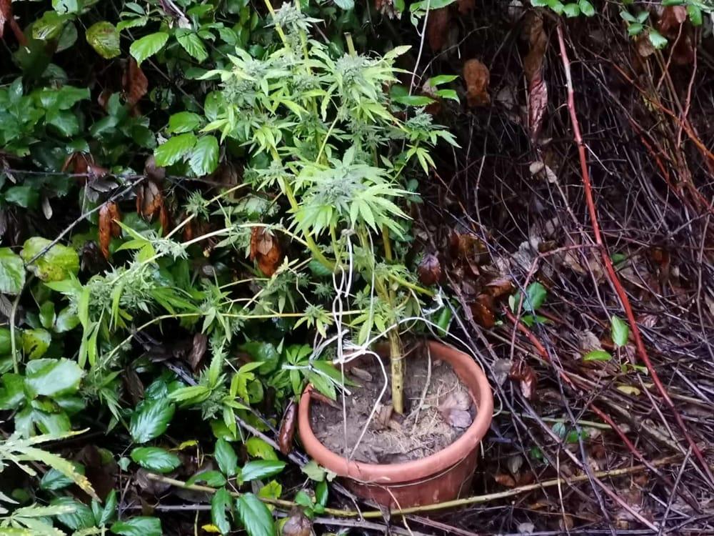 Pianta di marijuana in casa ad Ottati: arrestato 45enne