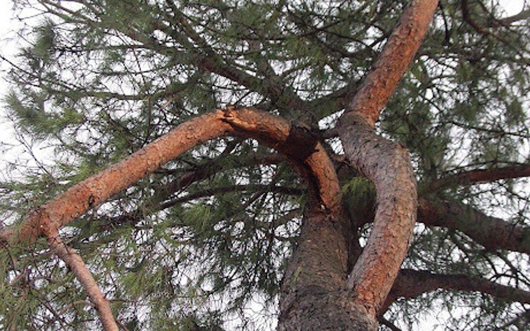 Amalfi, ramo si spezza da pino sul lungomare: arrivano i vigili del fuoco